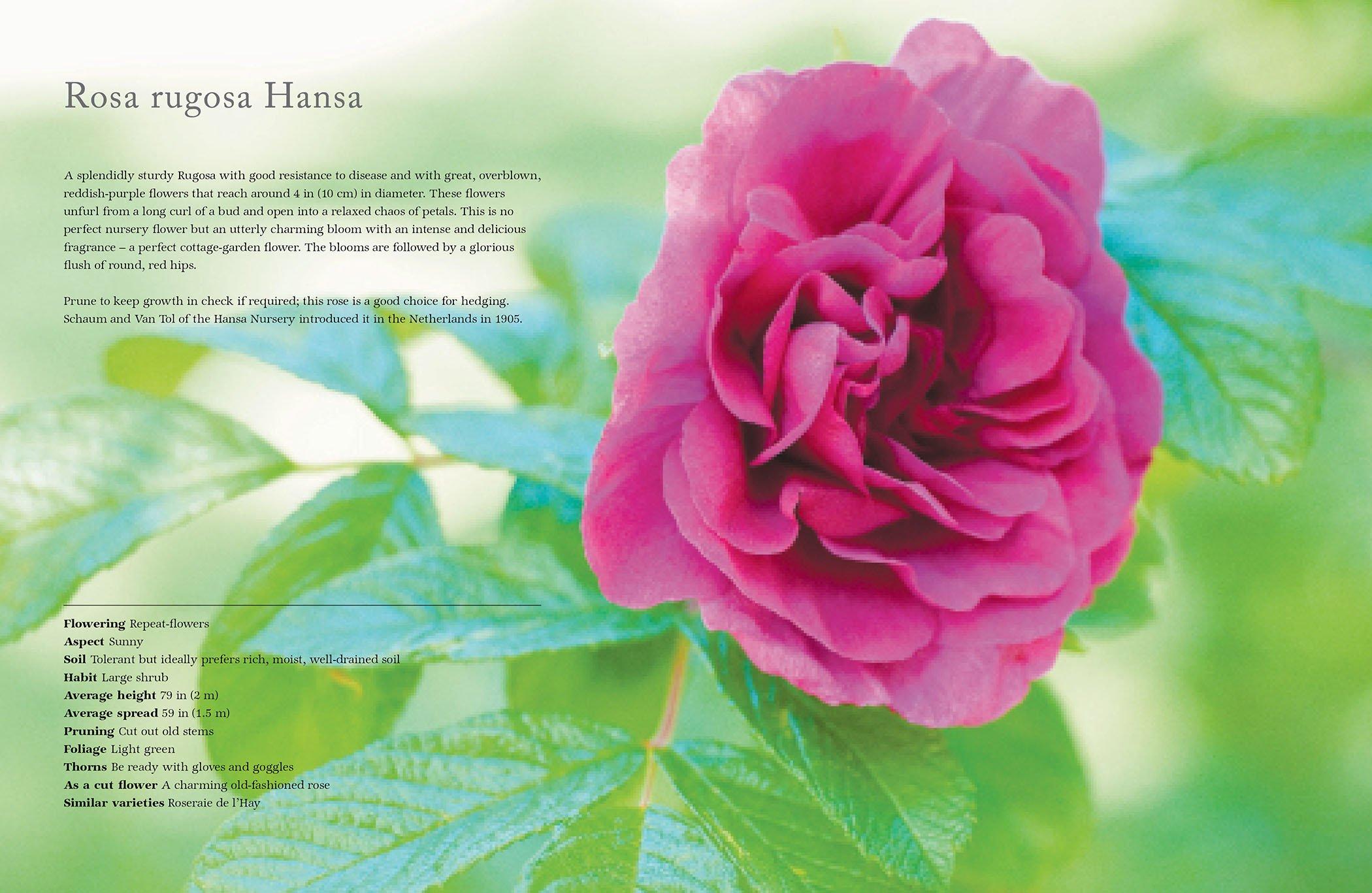 Vintage Roses Beautiful Varieties For Home And Garden Jane Eastoe