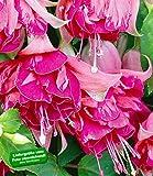 "BALDUR-Garten Riesen-Fuchsie ""Bicentennial"",2 Pflanzen Fuchsia"