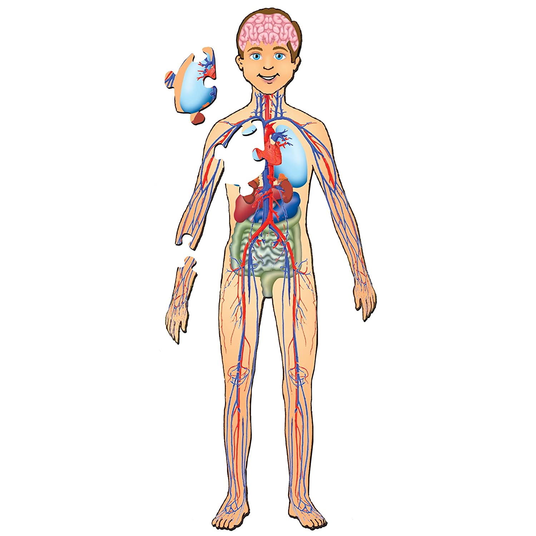 Amazon Platapilla Usa Ppafl076 Human Body With Organs Floor