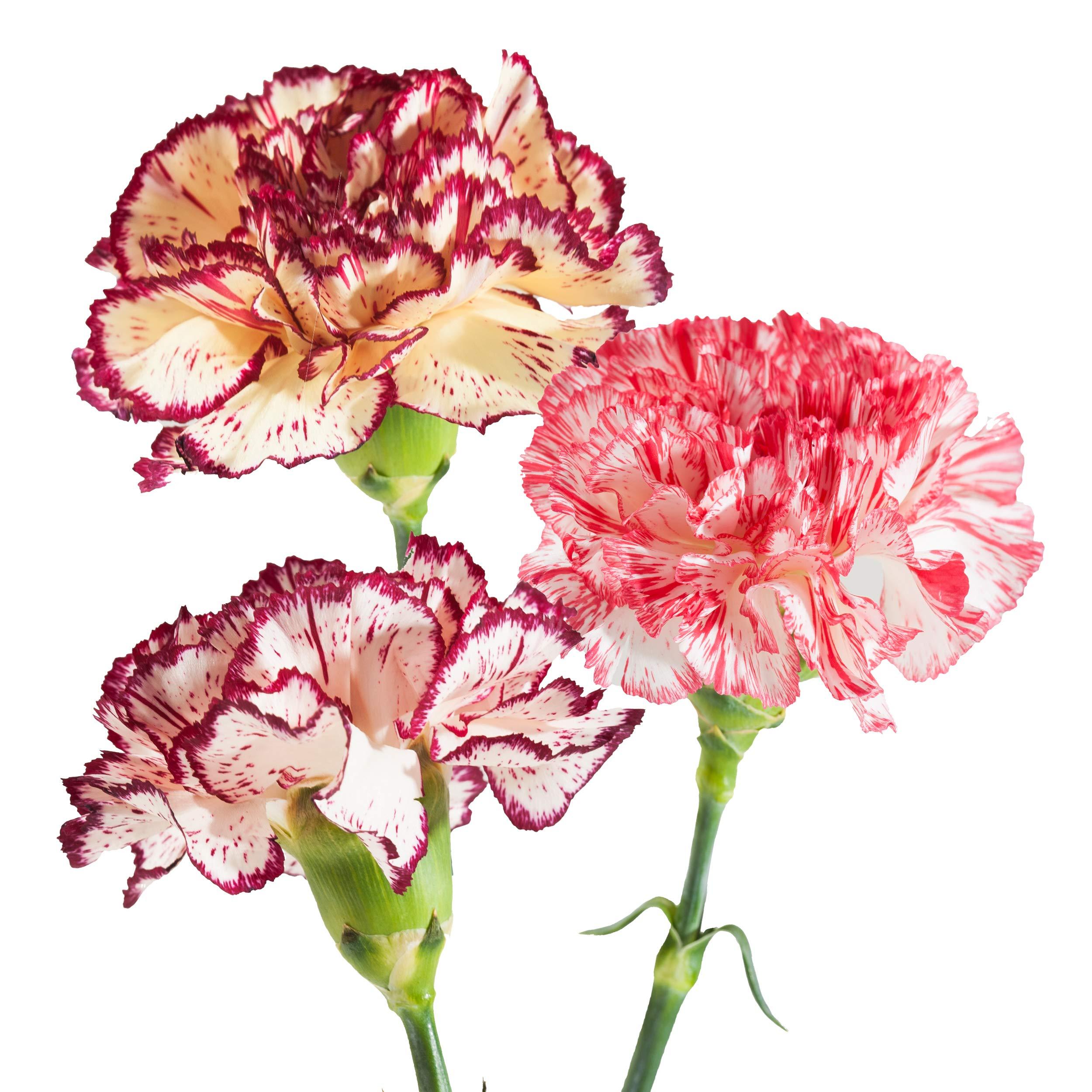 Farm Fresh Natural Novelties Carnation - 100 Stems by Bloomingmore (Image #1)