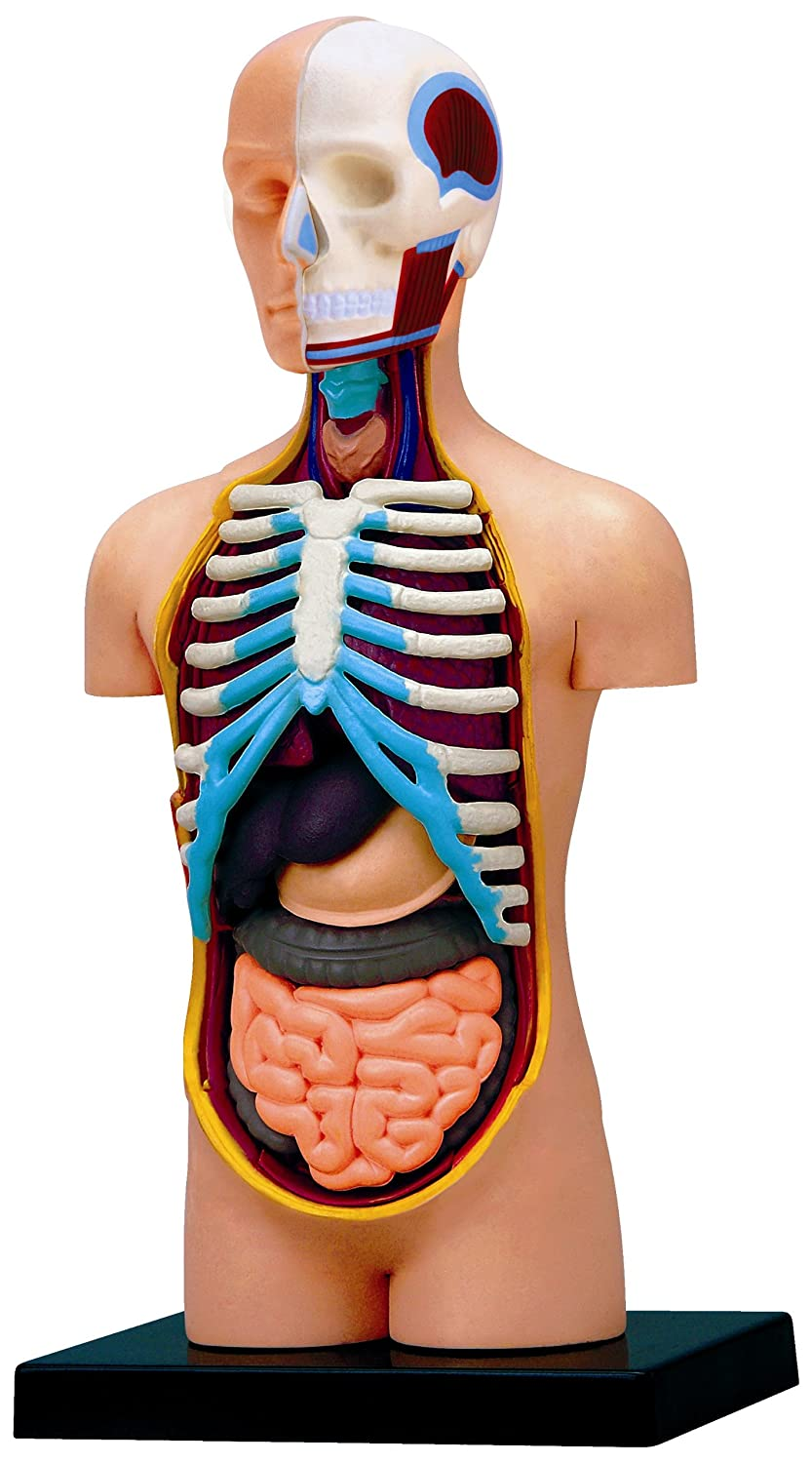 Amazon.com: 4D Vision Human Anatomy Torso Model: Toys & Games