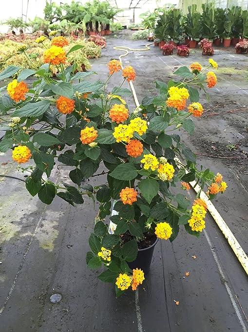 Lantana Camara Orange Standard Patio Plant In 14cm Pot 60cm Tall Amazon Co Uk Garden Outdoors