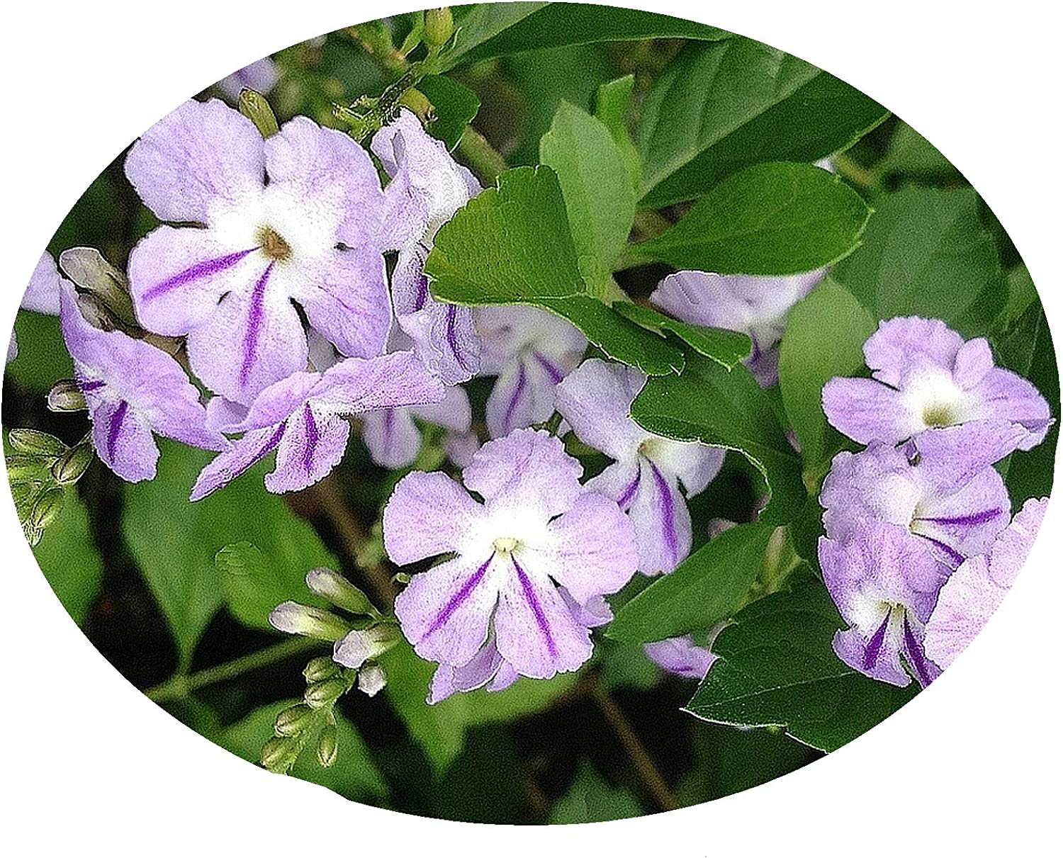 Amazon Com Lavender Sky Flower Live Semi Tropical Shrub Bush