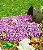 BALDUR-Garten Teppichphlox 'Emerald Pink', winterharter Bodendecker 3 Pflanzen Phlox subulata Polsterphlox Polster-Flammenblume Polsterstauden Moosphlox mehrjährig Phlox subulata