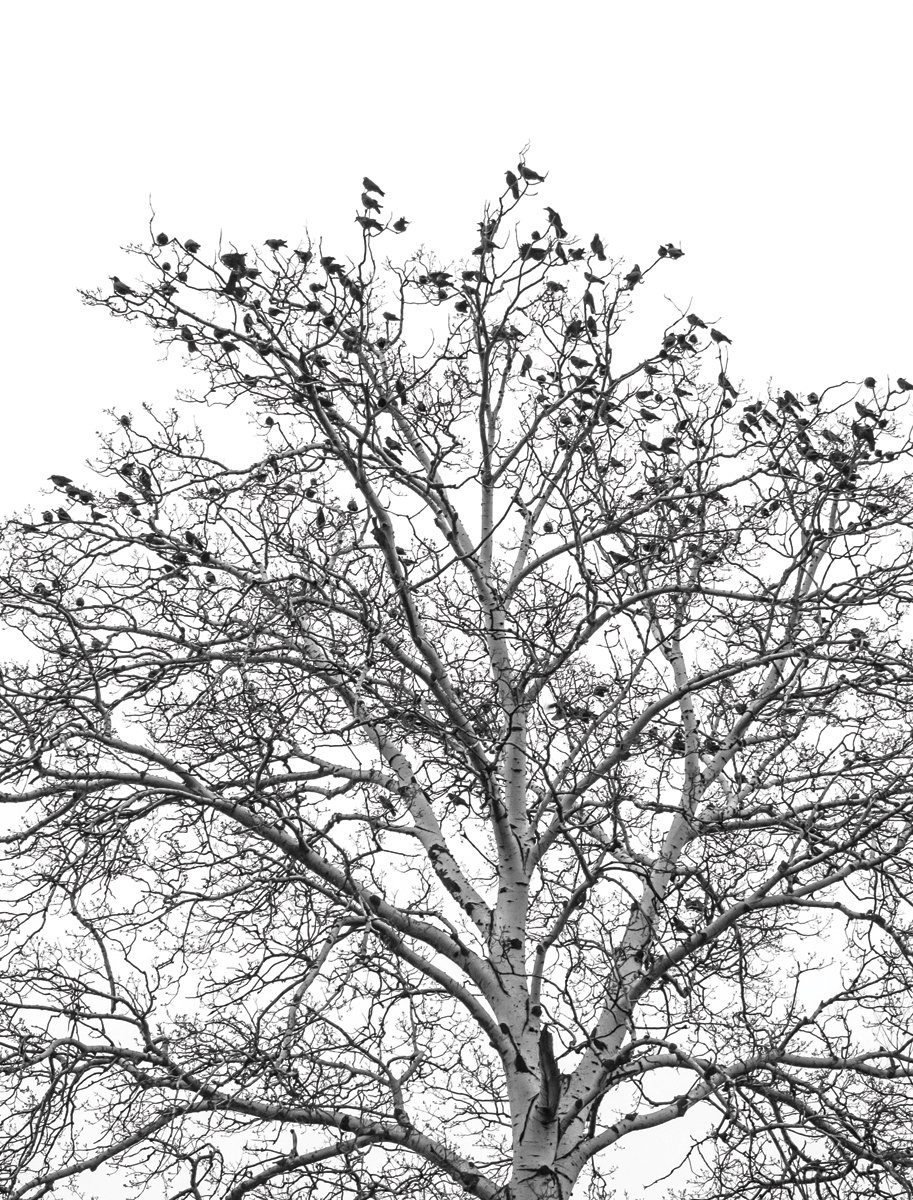 JP London Heavyweight Non Woven Art Prepasted Removable Wall Mural Poe Tree Branch Silhouette Sky at 3 Wide by 4 feet high PMURLT2232 3 x 4