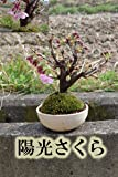 陽光桜 信楽焼き入り 桜盆栽