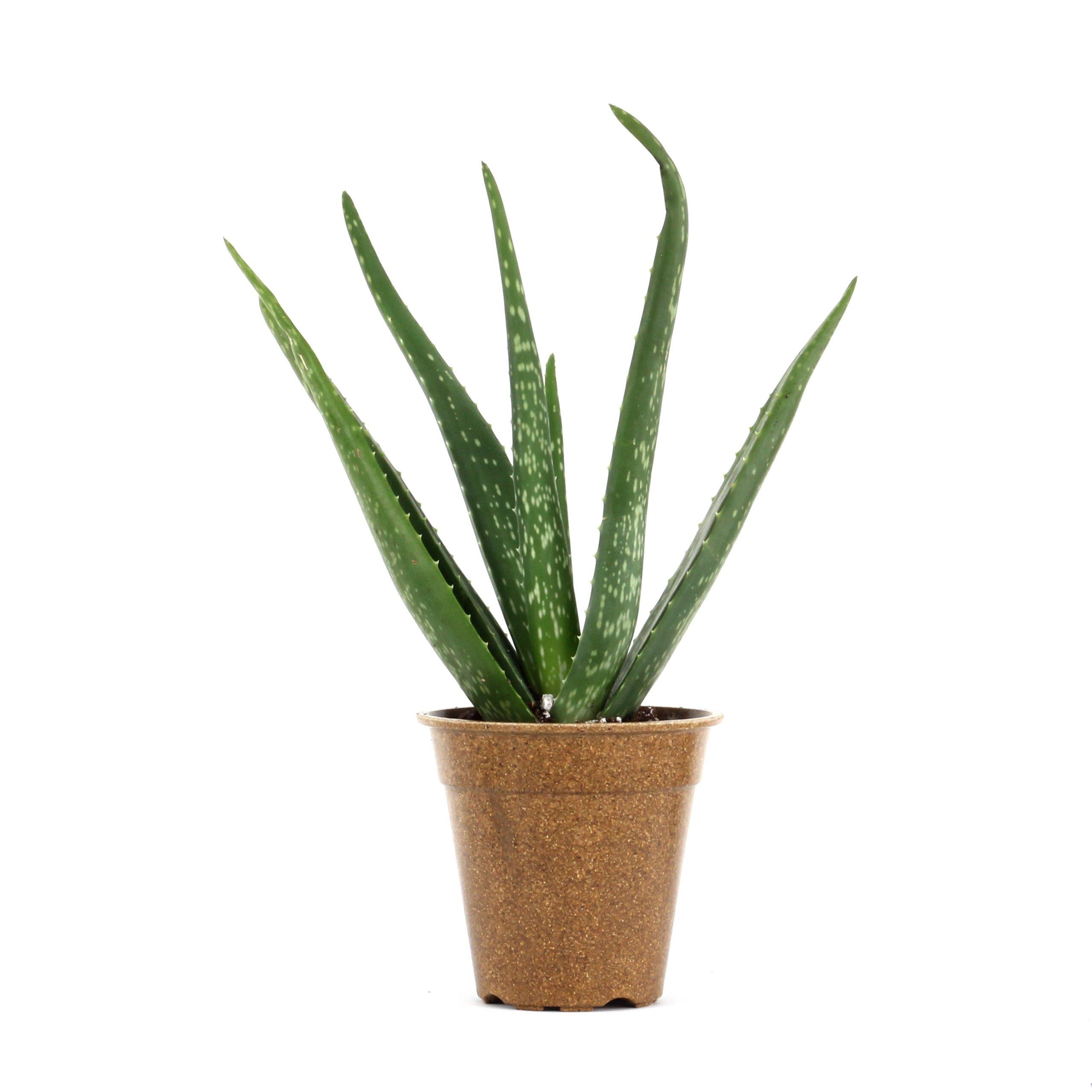 Clean Air Plant in Eco-Friendly Pot - Aloe vera