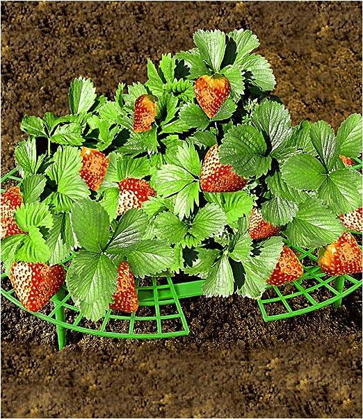 Fresas de Maxima, 5 unidades): Amazon.es: Jardín
