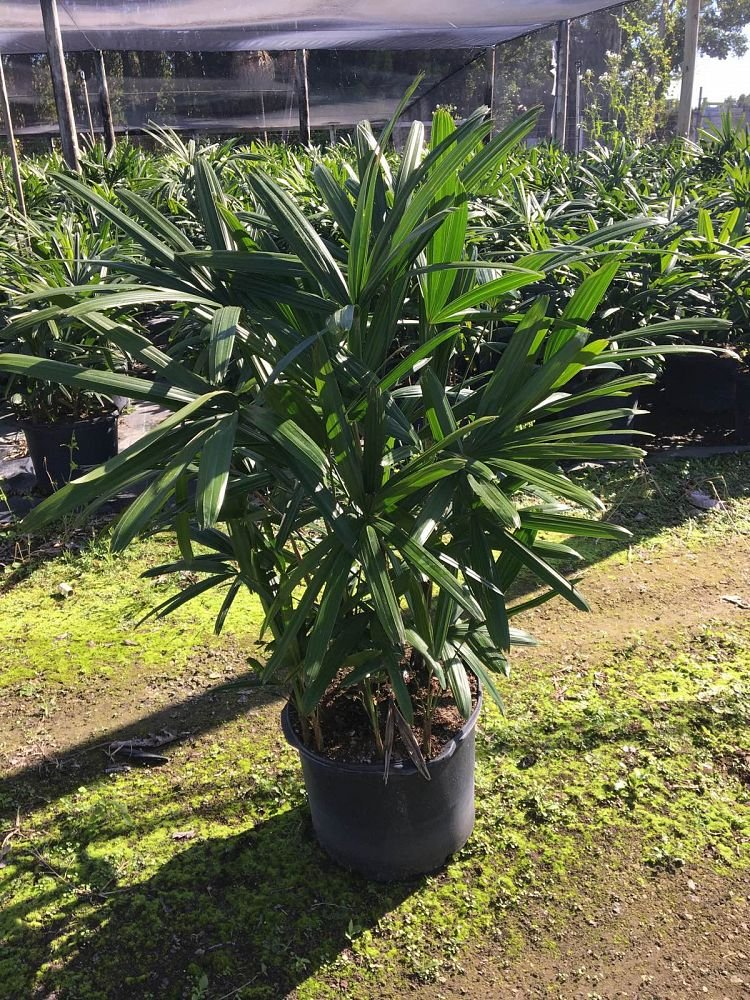 PlantVine Rhapis excelsa, Lady Palm - Extra Large - 12-14 Inch Pot (7 Gallon), Live Indoor Plant
