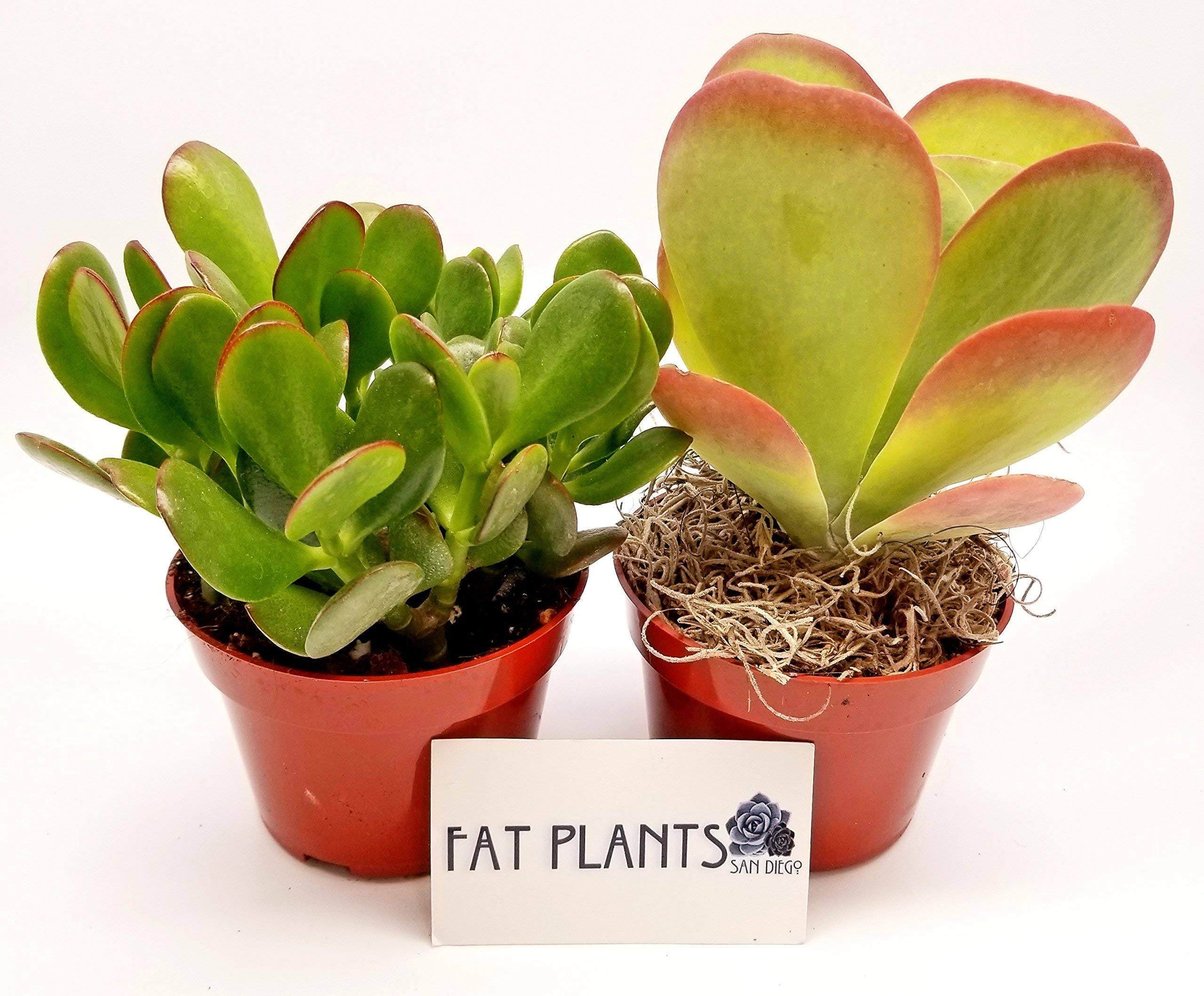 Fat Plants San Diego Live Succulent Plant Variety Collection by Fat Plants San Diego (Image #2)