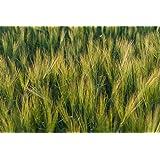 Barley (10 LBS)