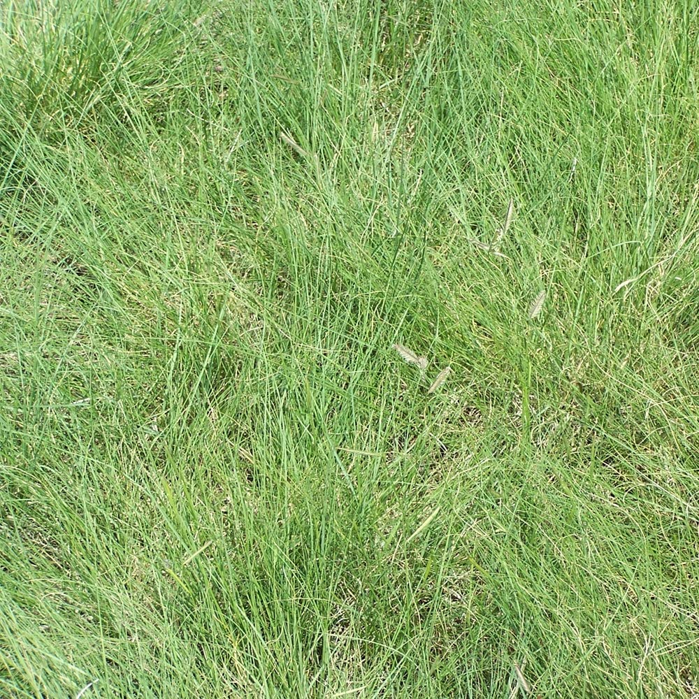 Outsidepride Blue Grama Native Grass Seed For Xeriscape Lawns & Pasture - 5 LBS by Outsidepride