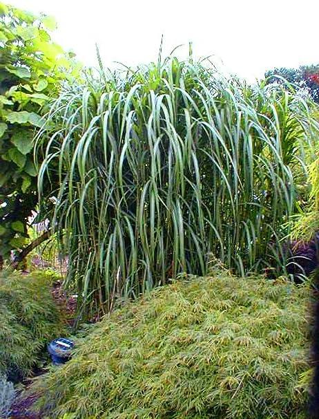 Riesen Chinaschilf Winterhart Miscanthus Giganteus Elefantengras Im Grossen 5 Liter Topf Amazon De Garten