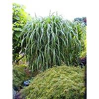 Gartengräser Winterhart amazon de bestseller die beliebtesten artikel in gräser