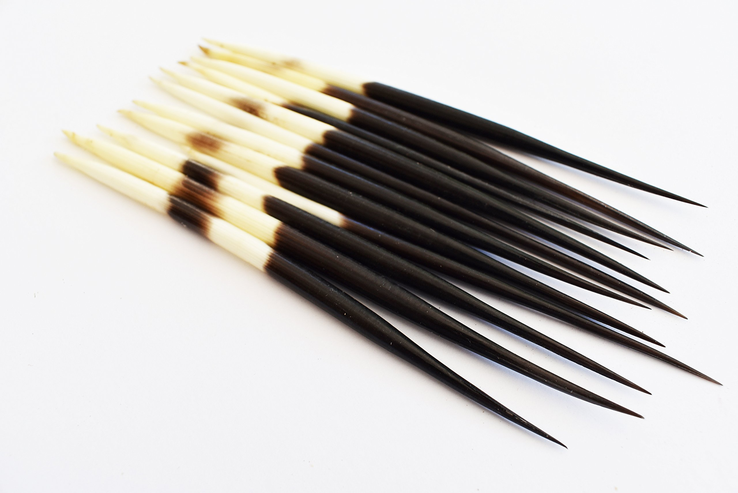 Set of 12 African Porcupine Quills (5-7'') Handpicked Decor Hobby Indian Crafts Hair Sticks by Florida Shells and Gifts