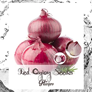 ALEXI Red Onion Seeds - Sweet Red Onion Seeds for Planting - High Germination Rate - Short Day - High Yield - Non GMO (100)
