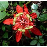 Passiflora Coccinea - escarlata flor roja de la pasión - Semillas de plantas tropicales raras (5)