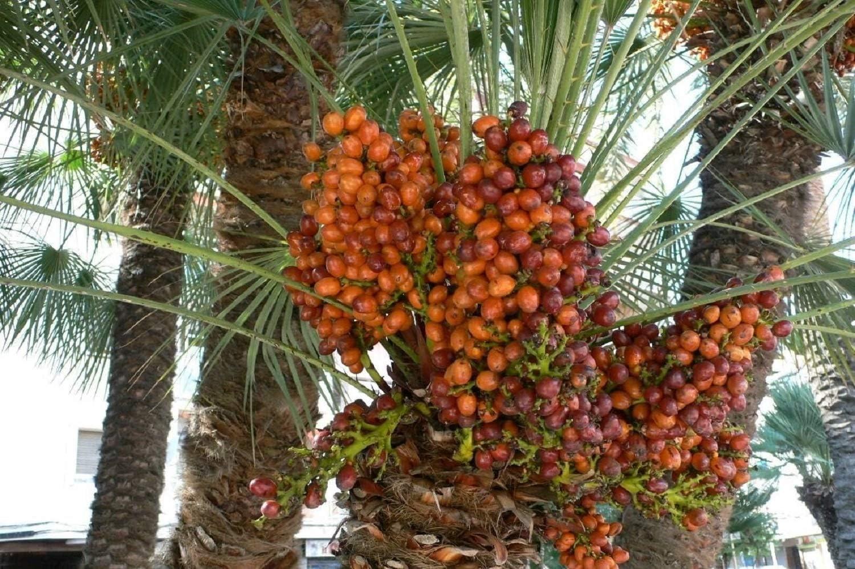 7 Fresh Exotic Palm Fruit Tree Seeds Phoenix Dactylifera Date Palm
