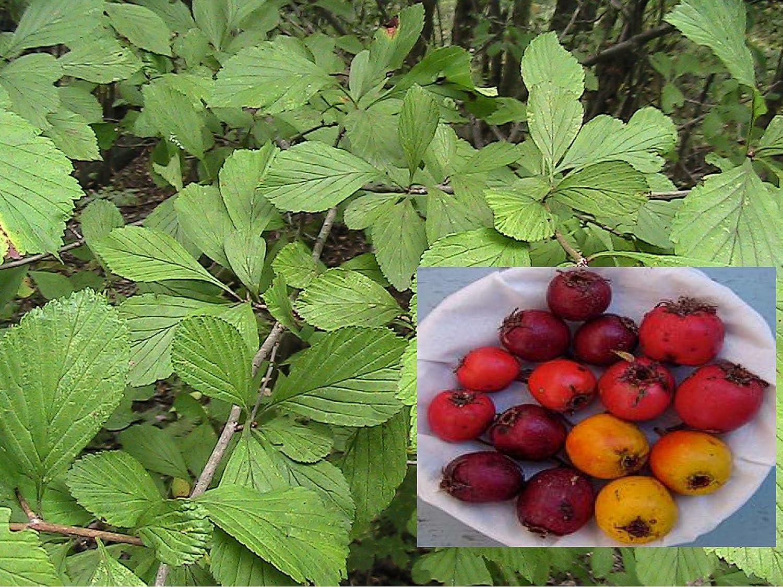5 White Haw Zonas Semillas 5+ nativo Espino blanco amarillo a fruta roja.