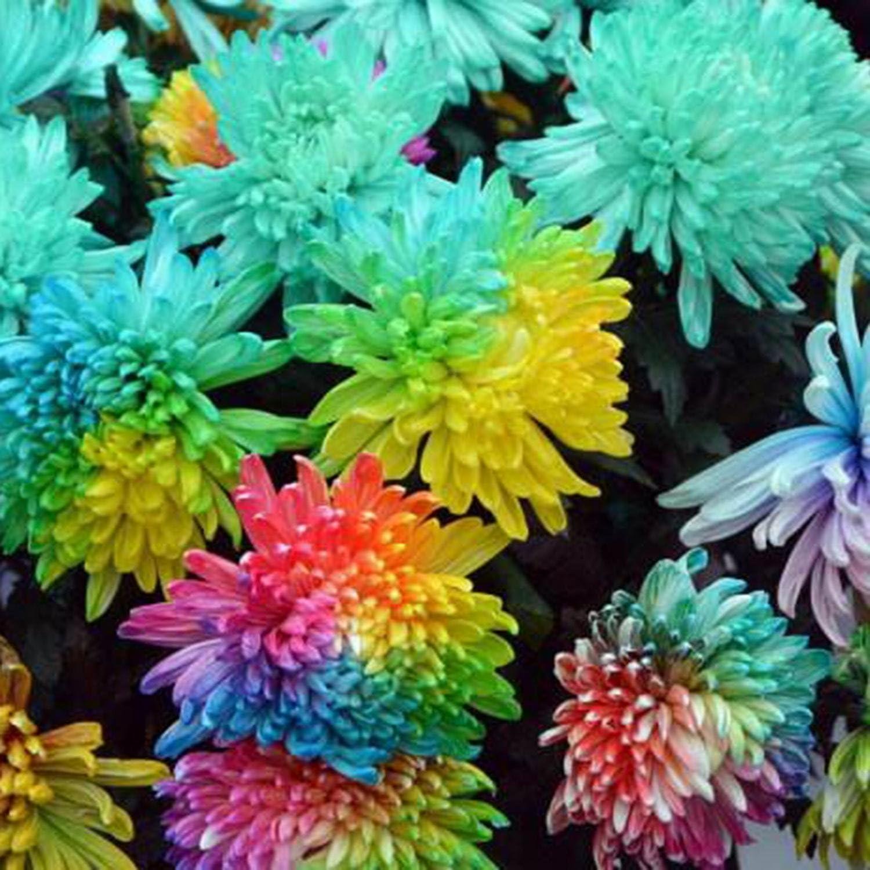 Ncient 20//50//100 Semi Sementi di Margarita di Color Di Arcobaleno Semi di Fiori Rari Fiori Piante per Orto Giardino Balcone Interni ed Esterni