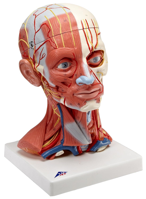 3b Scientific C05 5 Part Head And Neck Musculature Model 71