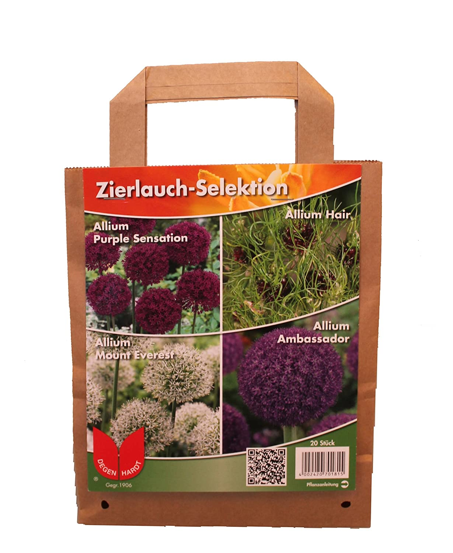 5 oder 10 Allium Purple Sensation Zierlauch Blumenzwiebeln Lieferbar ab 9.9.19