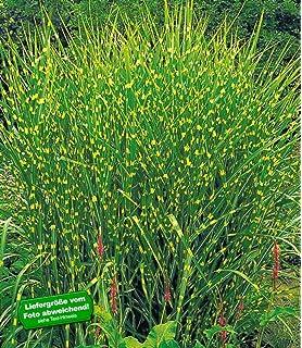 BALDUR-Garten Carex \'Bronze Reflection\' Segge winterhart, 3 Pflanzen ...