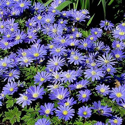 Anemone blanda Blue Shades - 20 flower bulbs: Garden & Outdoor