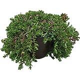 Ayurveda Heilpflanze Bacopa monnieri 7 x Brahmi Pflanzen Gedächtnispflanze