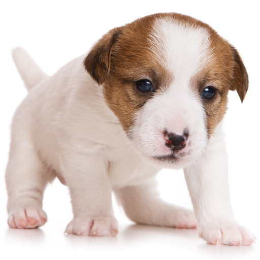 Guess The Puppy Breed 2 - Trivia Game - Puppies Breed
