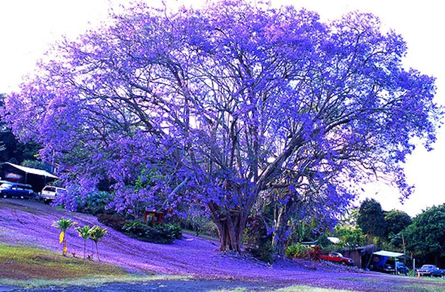 Mallkerala 50 seeds of neeli gulmohur blue jacaranda jacaranda mallkerala 50 seeds of neeli gulmohur blue jacaranda jacaranda mimosifolia beautiful flowering venue tree for growing sowing amazon garden izmirmasajfo