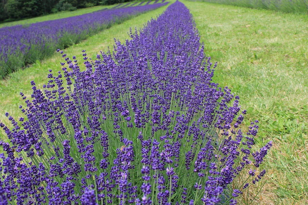 ENGLISH LAVENDER Lavandula angustifolia 30 graines-Parfumée