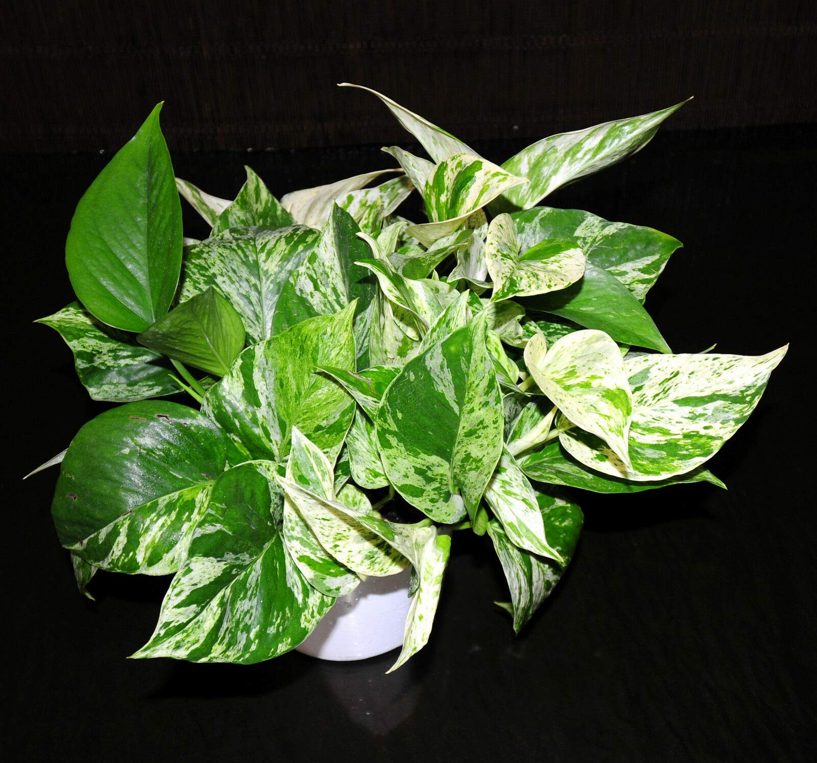Marble Queen Pothos 6'' Pots Easy Tropical Vining House Plant Super Large & Full (Premium Quality) by AY-Premium