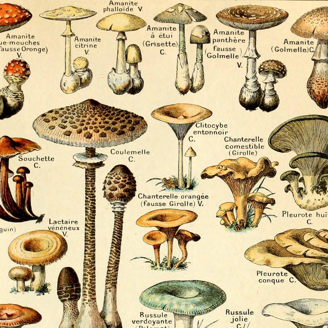 Amazon.com: Meishe Art Vintage Poster Print Mushrooms Champignons ...