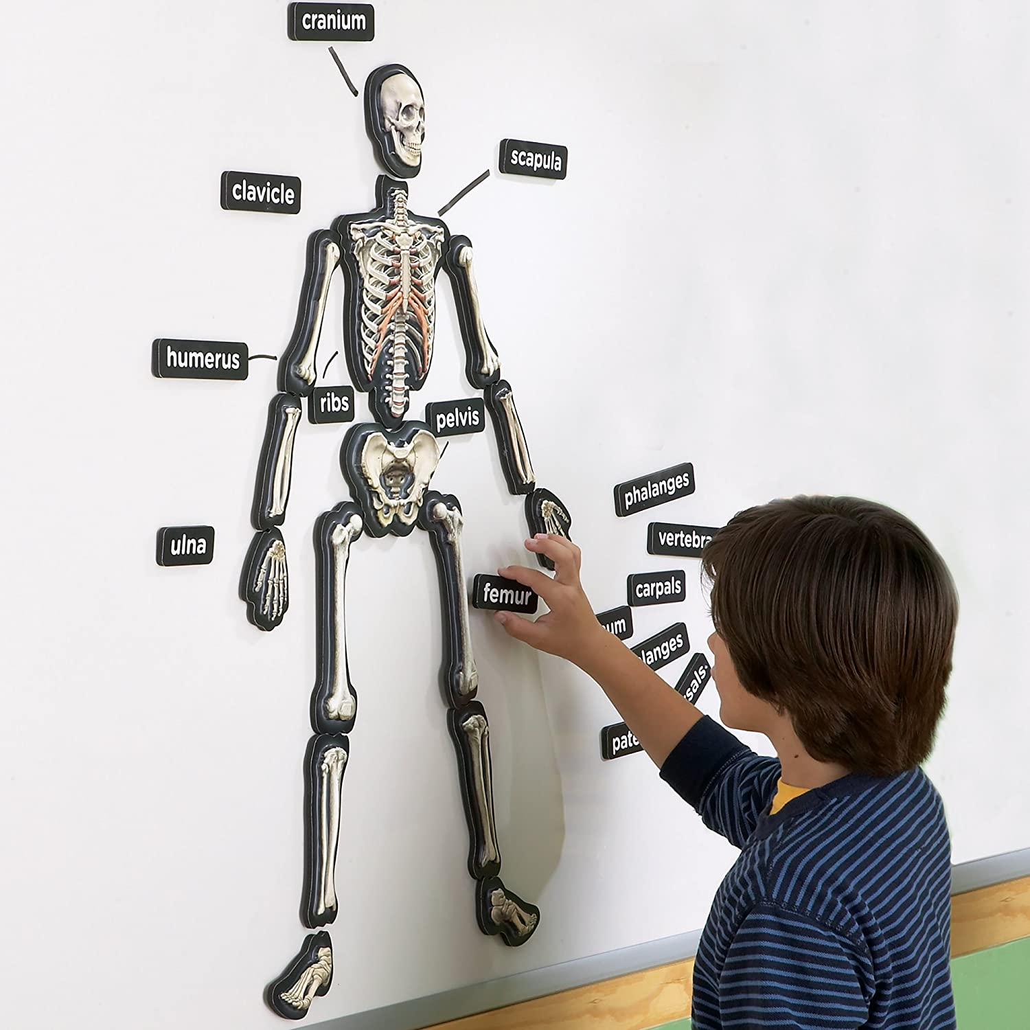 3-D magnetic skeletal system chart teacher classroom 5th 6th grade kids