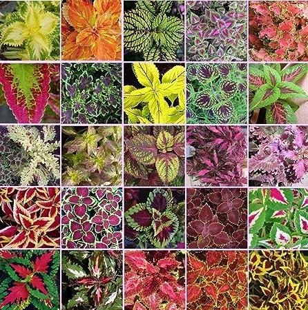 Amazon Com Coleus Blumei Rainbow Mix 250 Seeds Beautiful Foliage