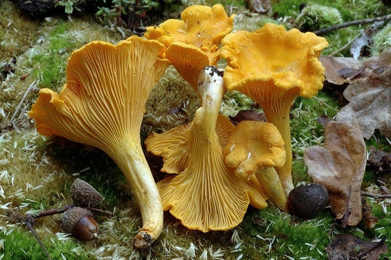 amazon com chanterelle mushroom cantharellus cibarius mycelium