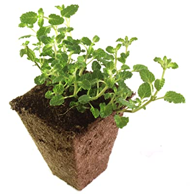 Strawberry Mint Live Rooted Plant : Garden & Outdoor