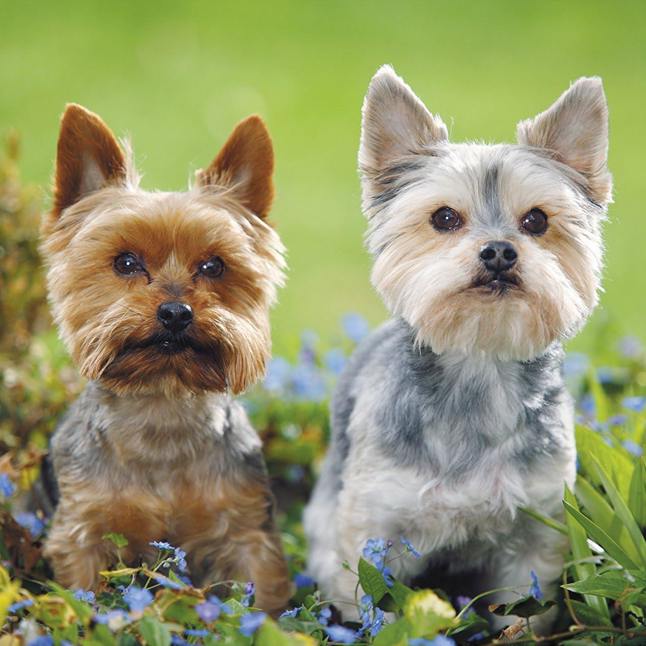 犬 二頭のヨークシャテリア Ipad壁紙 画像52799 スマポ