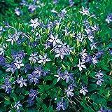 Vinca minor blau - Kleines Immergrün - Bodendecker mit violett-blauen Blüten: unverwüstlich, teppichbildend, winterhart - 1 Pflanze im Topfballen von Garten Schlüter - Pflanzen in Top Qualität