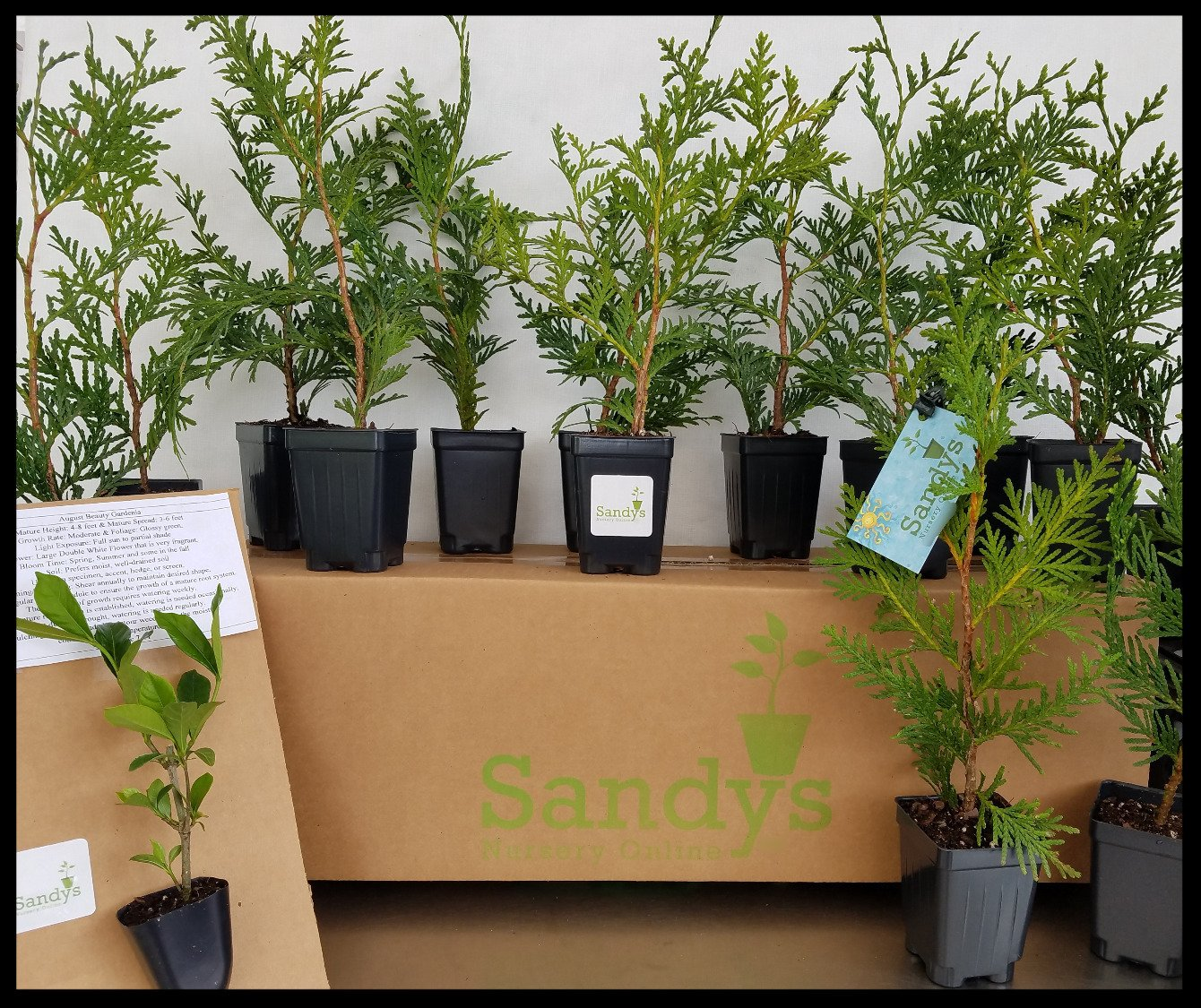 Amazon.com : Sandys Nursery Online Thuja Green Giant Arborvitae Live Plants  Lot of 30 Trees - Ships in 3 inch deep pots 10-14 inches Tall with Soil +  (1) ...