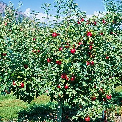 Dominik Blumen und Pflanzen ca 1 Pflanze plus 1 Paar Handschuhe gratis 60-80 cm hoch Busch 5-7 Liter Container Apfelbaum Roter Boskoop