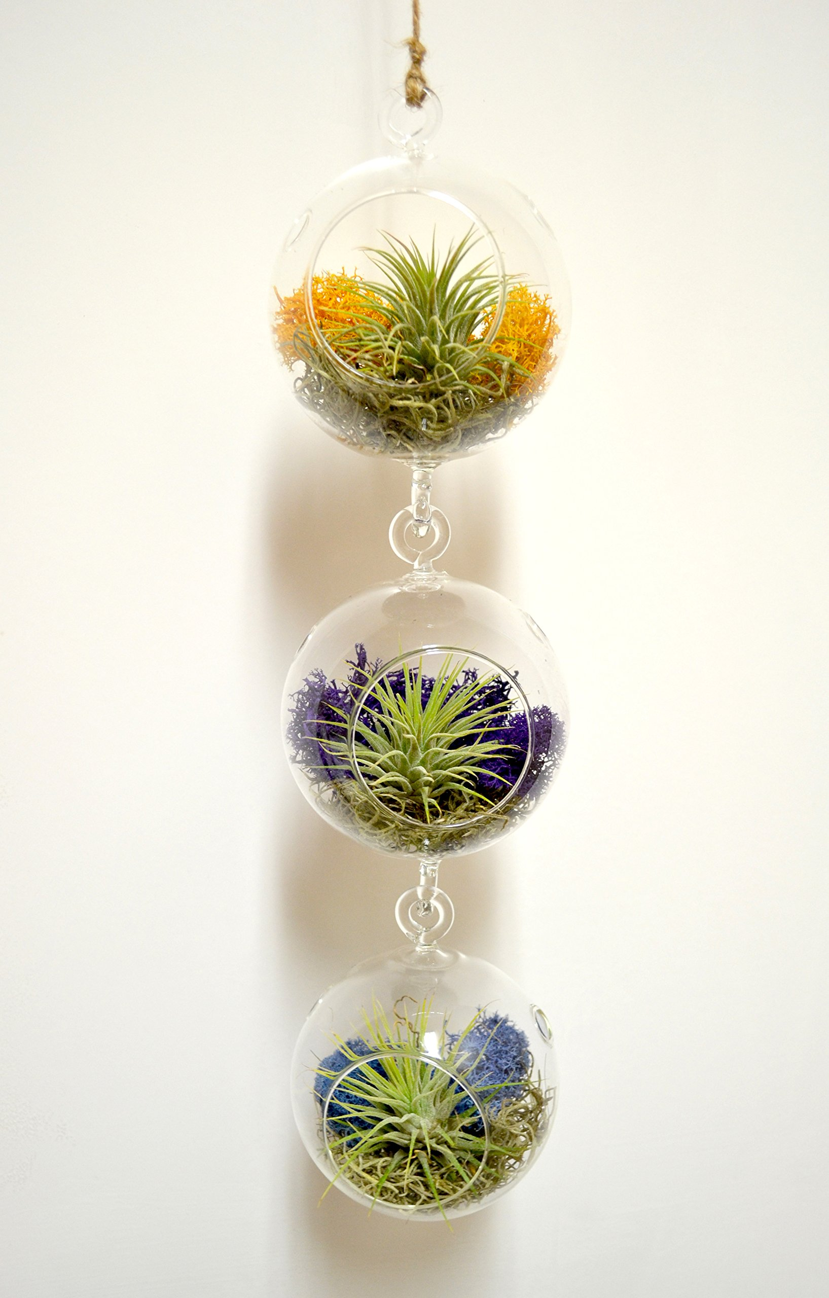 Pixie Glare Hanging Glass Terrariums - Set of Three, With Air Plants, Spanish Moss & Reindeer Moss (Carnival)