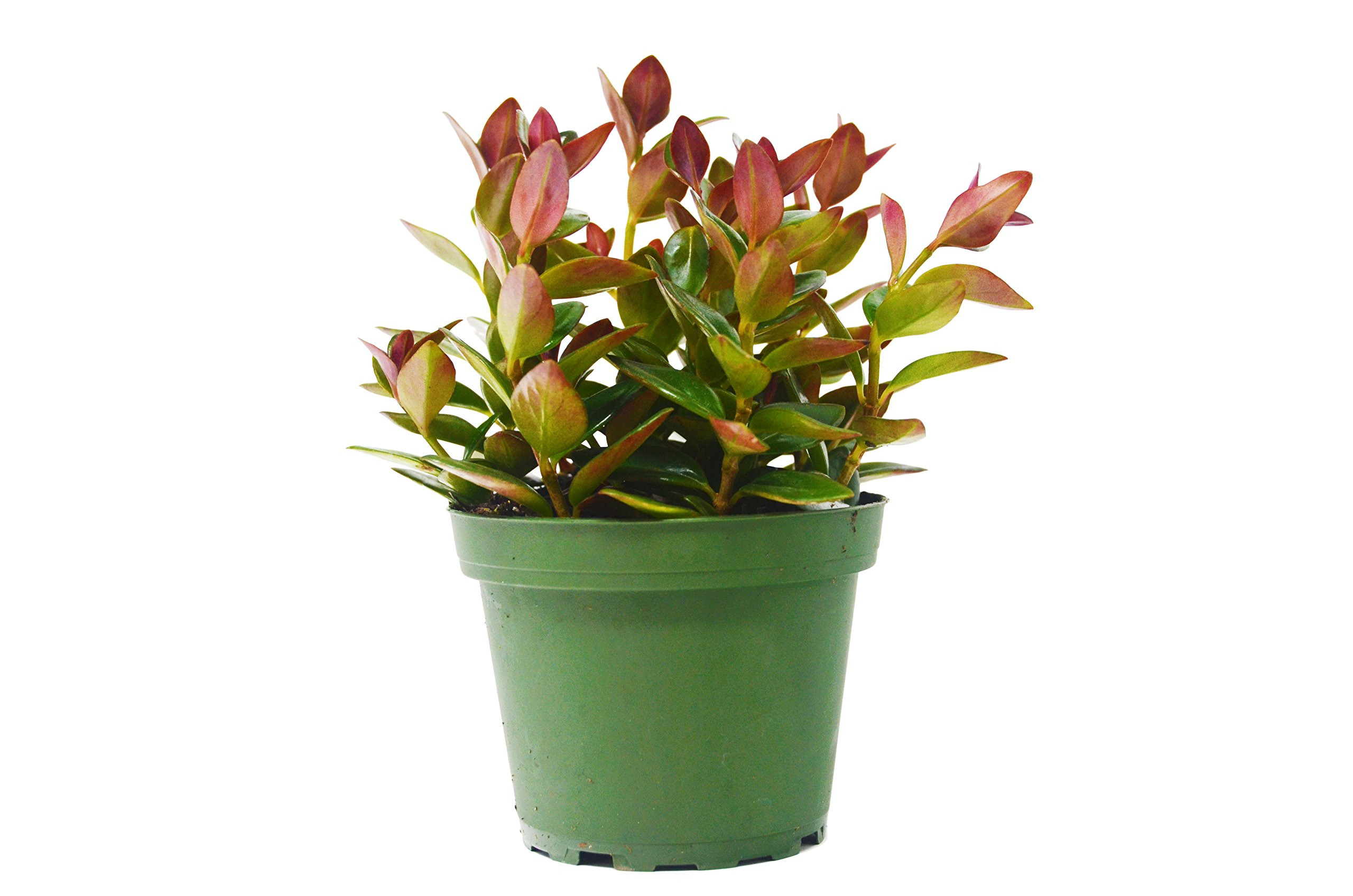 Black Goldfish Plant - Live House Plant - FREE Care Guide - 4'' Pot