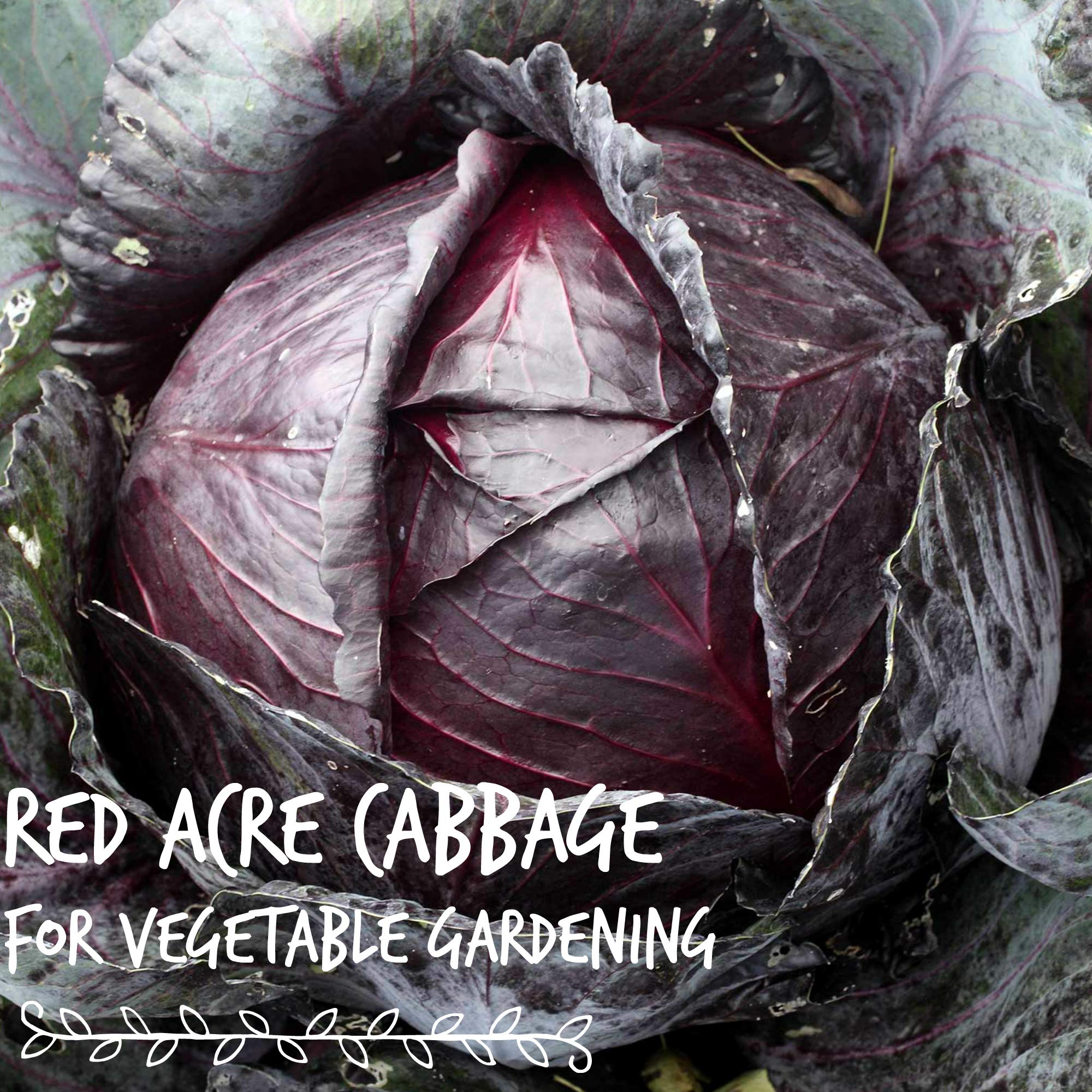 Red Acre Cabbage Seeds: 1 Lb - Non-GMO, Chemical Free Sprouting Seeds for Vegetable Garden & Growing Micro Greens by Mountain Valley Seed Company (Image #2)