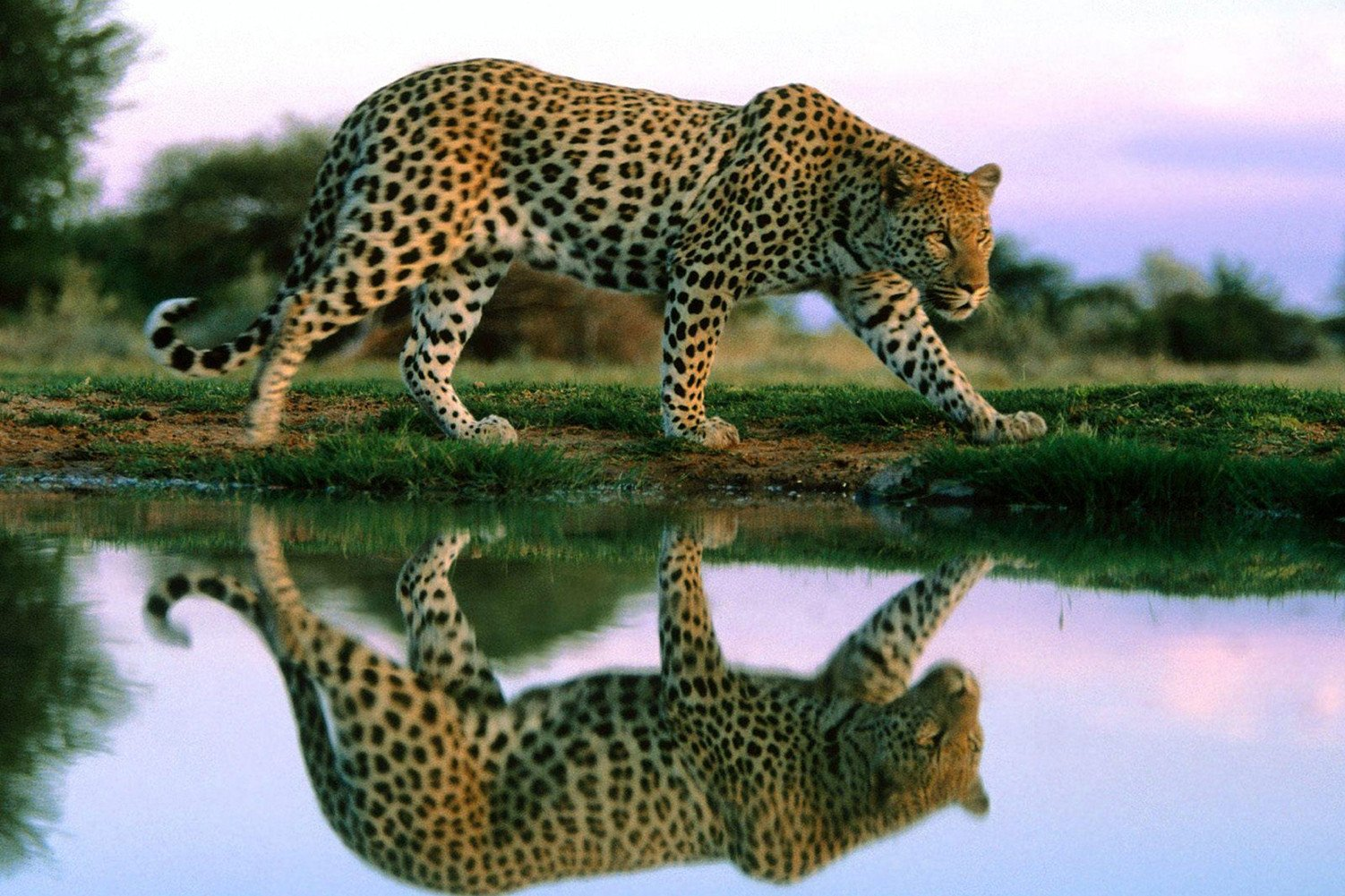 CHOIS Custom Film CF3321 Animal Leopard Glass Window Privacy Frosted DIY Sticker 3' W by 2' H