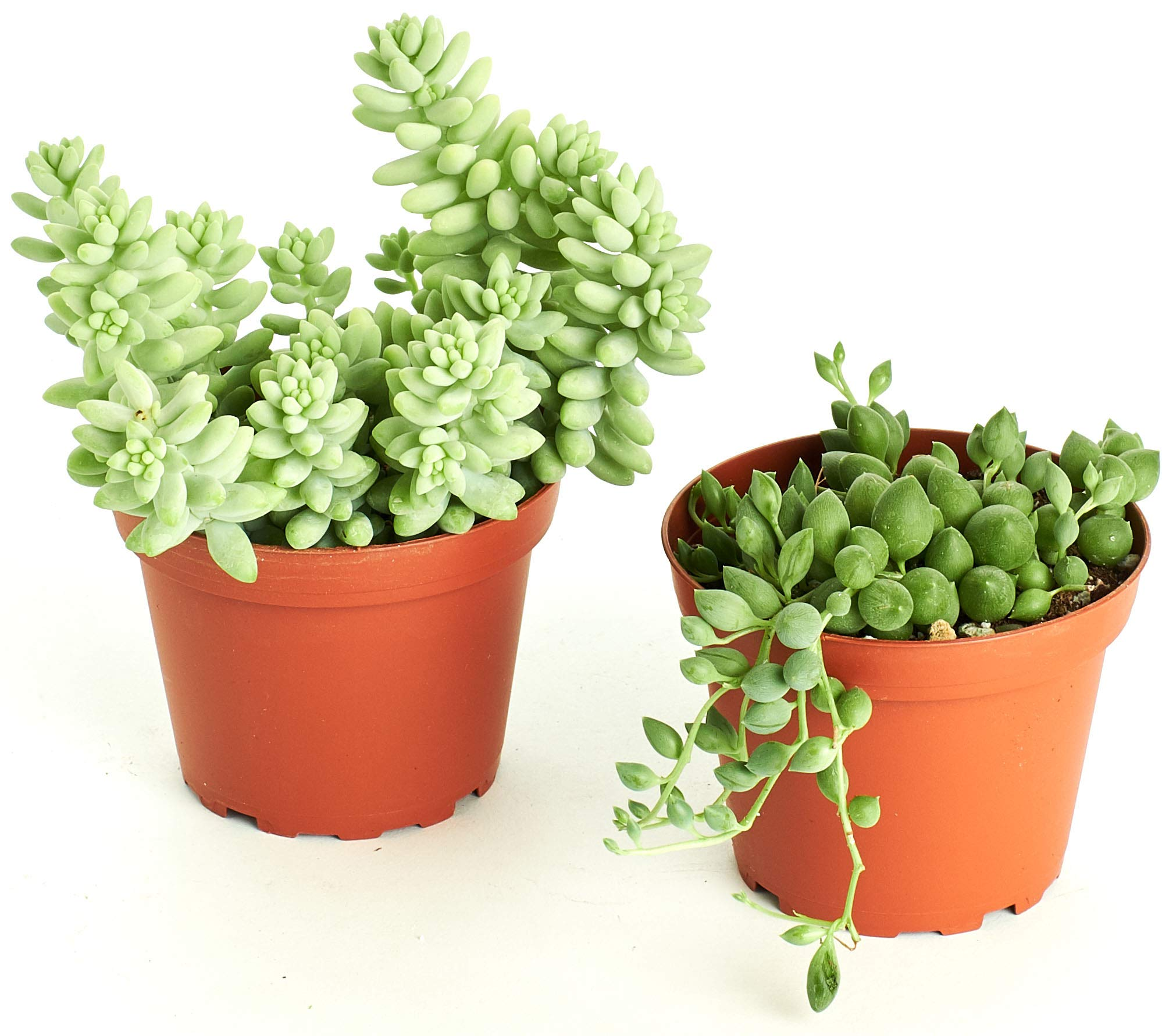 Shop Succulents| Hanging Collection of Live Succulent Plants, Hand Selected String of Pearls & Burrito Sedum Variety | Collection of 2 in 4'' pots