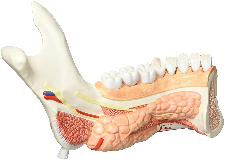 3B Scientific Menschliche Anatomie - Unterkieferhälfte mit 8 ...