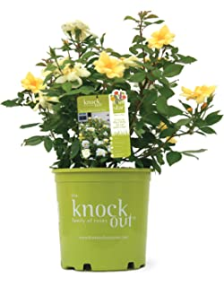 Amazon pollypetite rose of sharon hibiscus 4 pot proven knock out roses rosa sunny knock out rose rose yellow flowers mightylinksfo