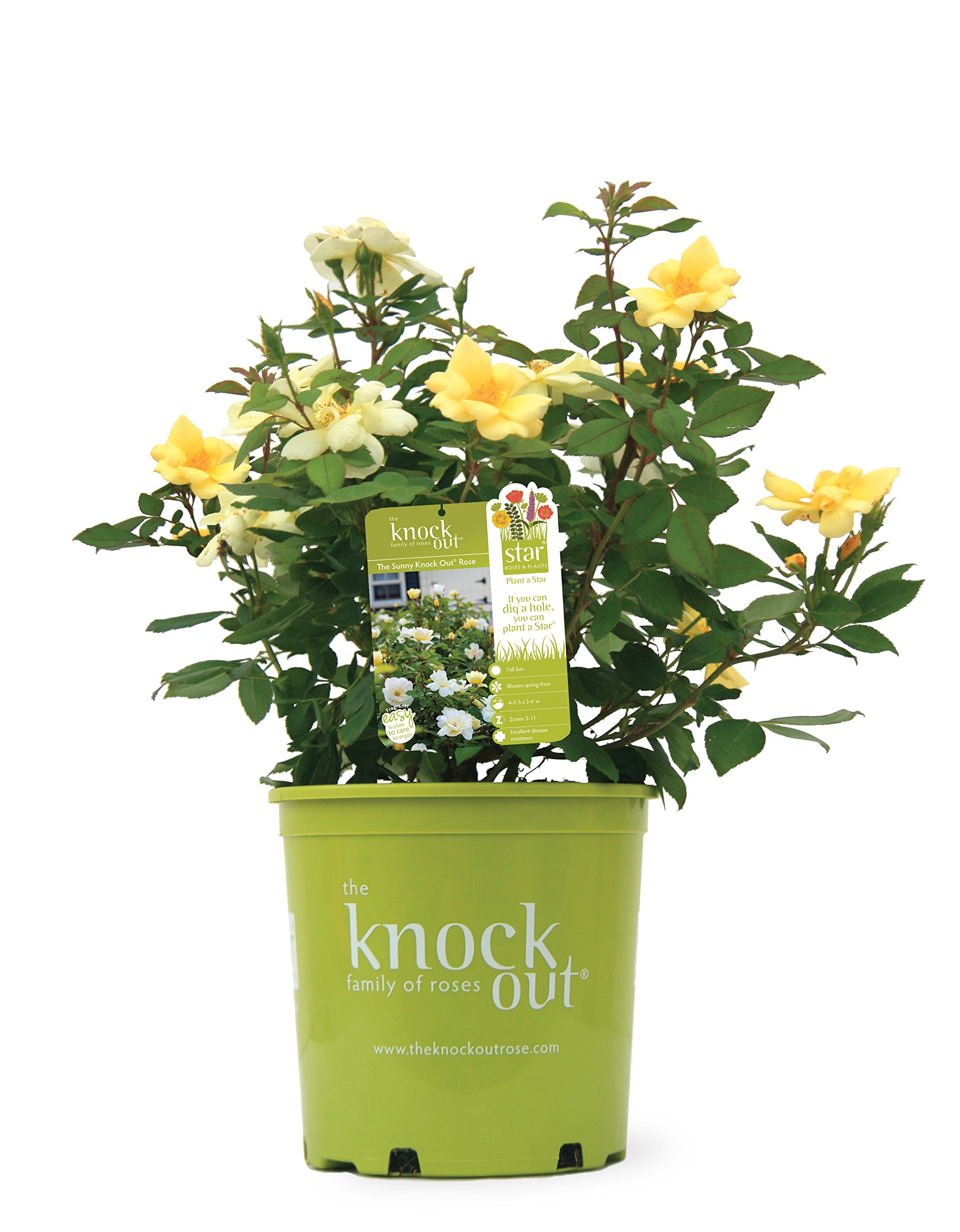 Knock Out Roses - Rosa Sunny Knock Out (Rose) Rose, Yellow Flowers, 3 - Size Container